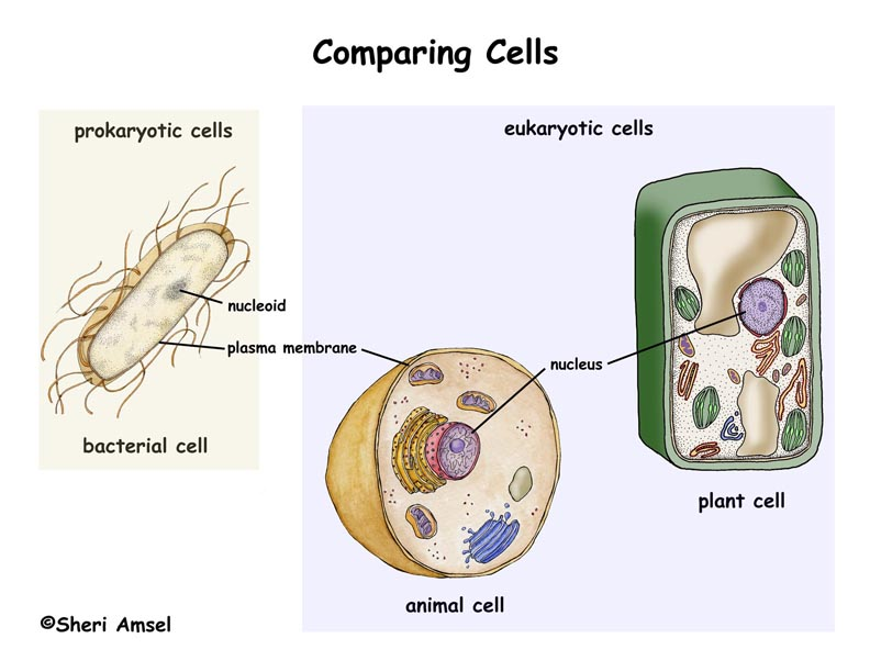 Cells Whats the Difference – Prokaryotic and Eukaryotic Cells Worksheet